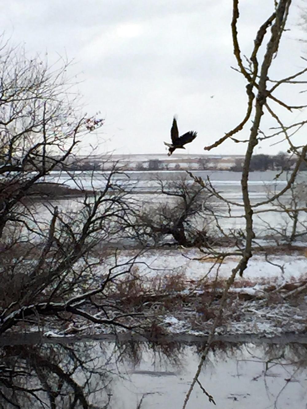 An eagle takes flight
