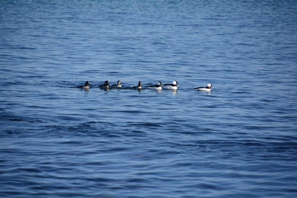 Thank you, Scott Conrad, for providing this beautiful photo of Buffleheads.