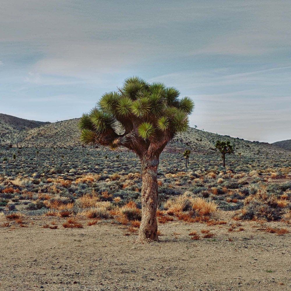 Joshua_Tree_Art_Print