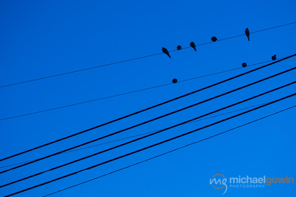 Birds on Wires :: Michael Gowin Photography, Lincoln, IL