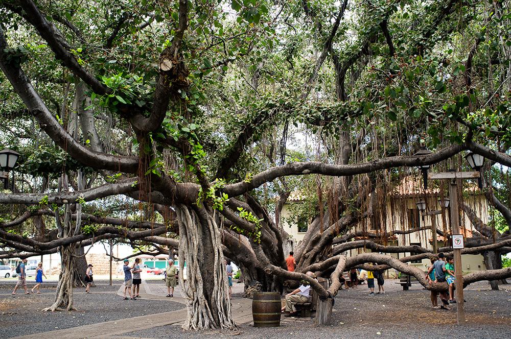 25_Maui-Lahaina_Banyan Tree.jpg