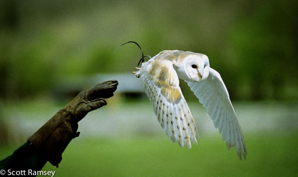 Owl Flying Barry