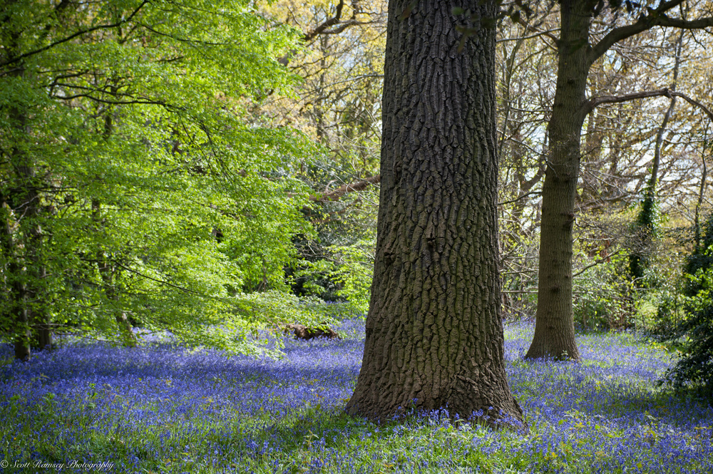 A carpet of bluebells under ancient trees.