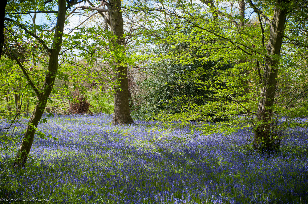 Bluebells in the grounds of Kew Gardens.