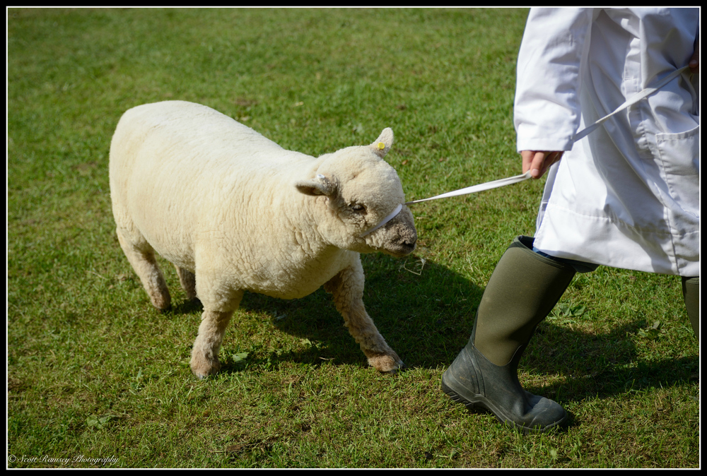 A sheep is lead around the arena whist being judged during a competition at the Findon Sheep Fair
