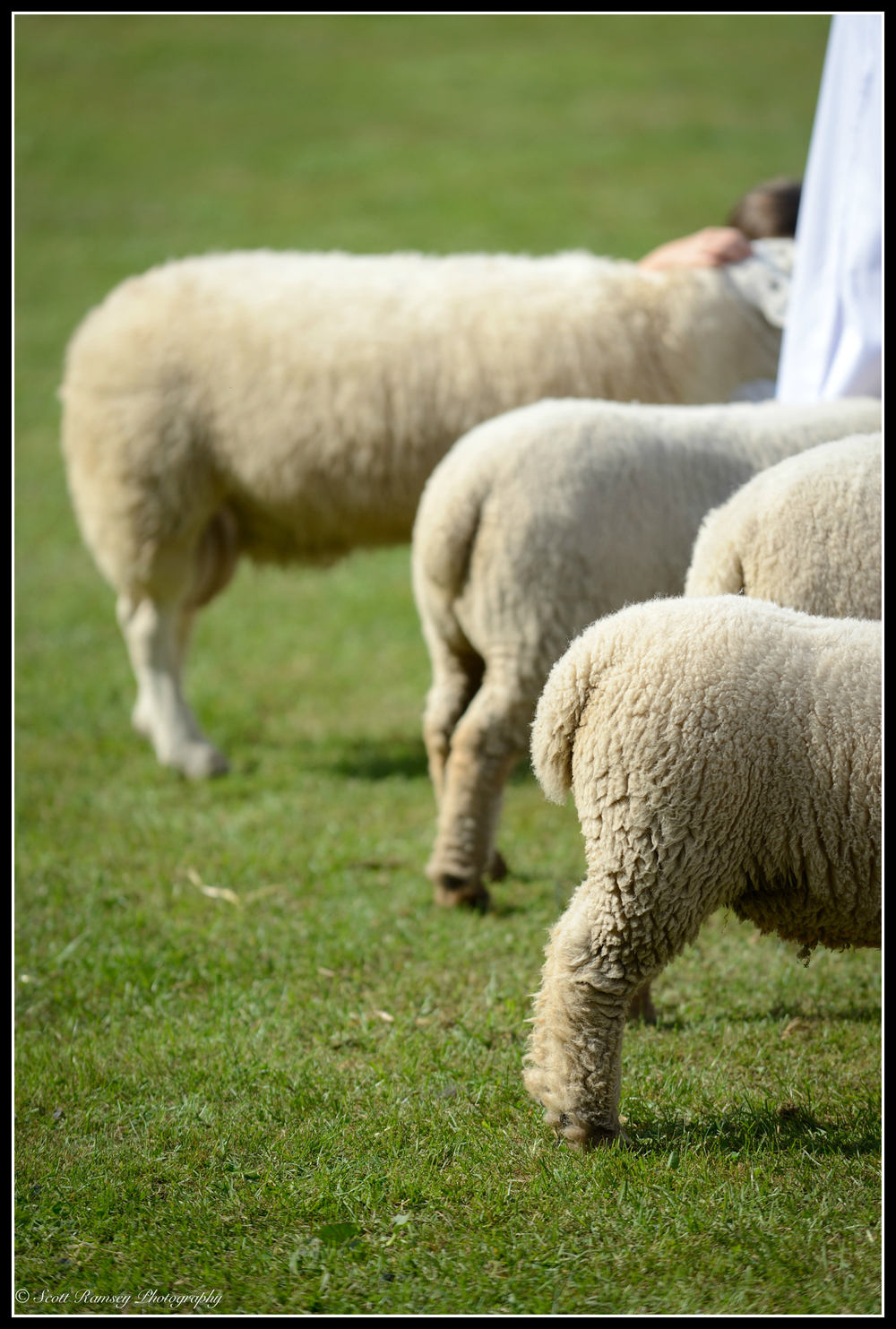 Sheep lined up in the main arena whist being judged at the Findon Sheep Fair in West Sussex.