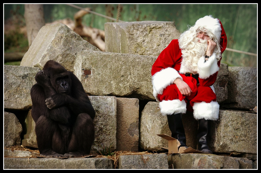 Father Christmas sits next to Emmie a hand reared Western Lowland Gorilla during a Christmas photo shoot at Port Lympne Wild Animal Park in Kent. Don't be fed up you two its Christmas!