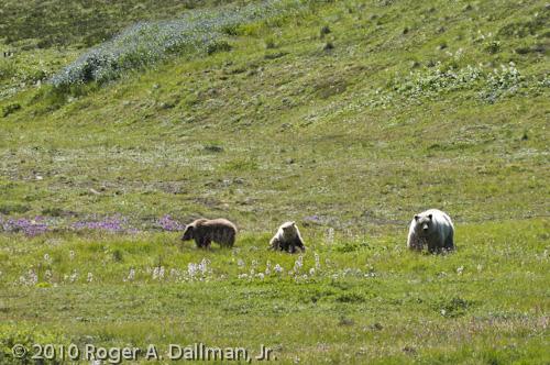 grizzly bear cubs sow Mt. McKinley Alaska Denali