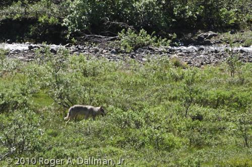 wolf Mt. McKinley Alaska Denali