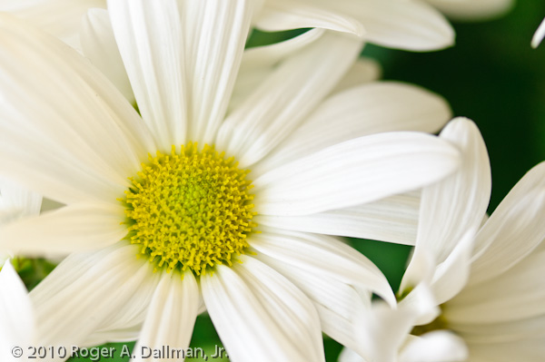 daisy, flower, bright