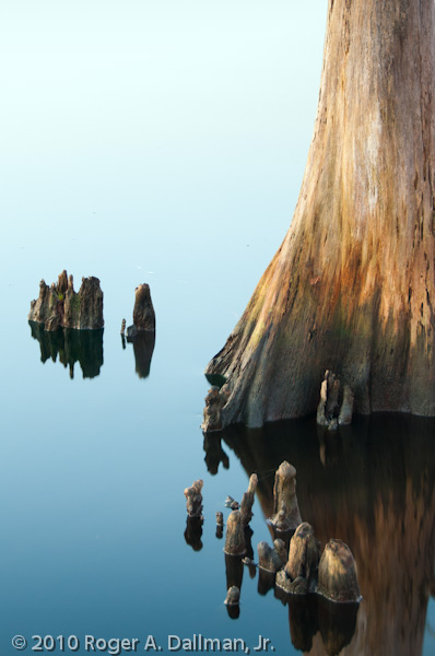 cypress knees, Elizabeth City, NC, USA, reflections, water, still