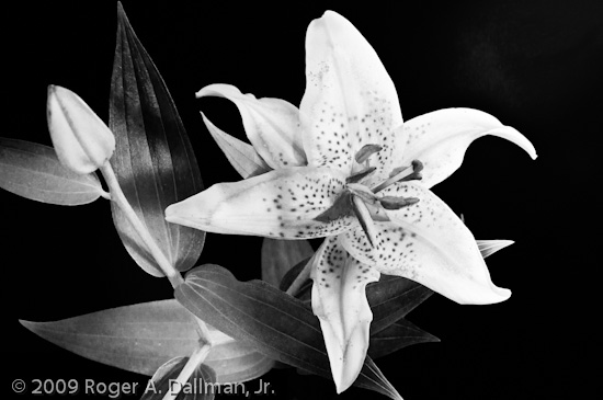 high contrast, black and white, flower