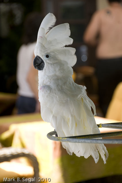 White cockatoo in Rhodes