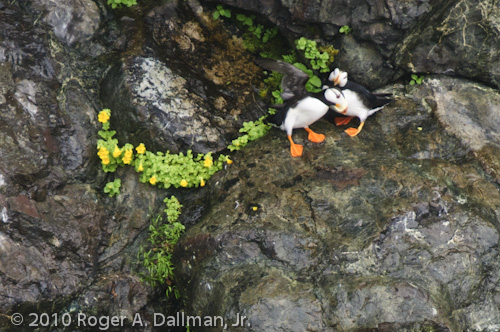 Puffins on a cliff in Alaska