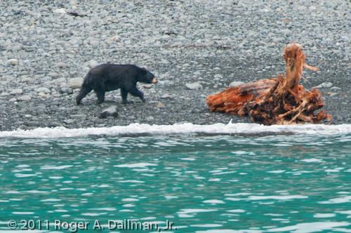 Black bear in Kenai Fjords National Park, Alaska