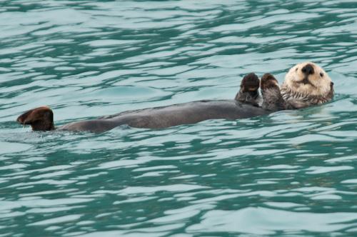 Sea otter in Resurrection Bay, Seward, Alaska.