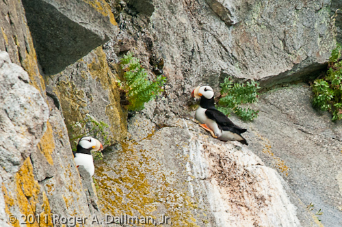 Puffins on the rocks in Kenai Fjords National Park, Alaska