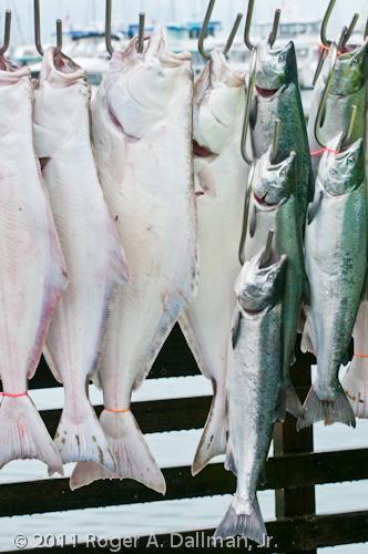 Halibut and silver salmon in Seward, Alaska.