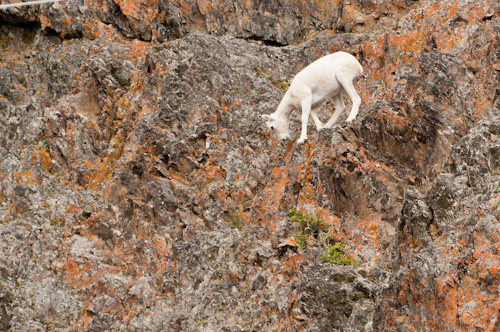 Mountain goat on the cliffs, south of Anchorage, Alaska.