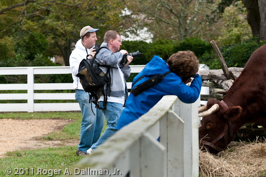 photowalkers ganging up on the oxen