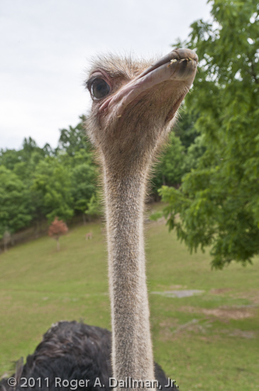 Ostrich from up close