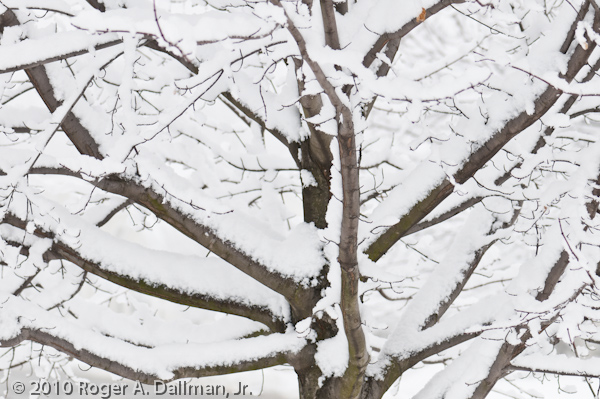 A tree, laden with snow
