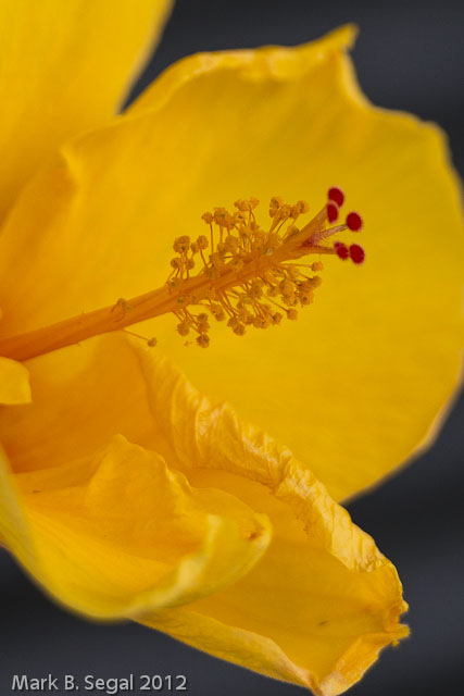 Yellow, Hibiscus