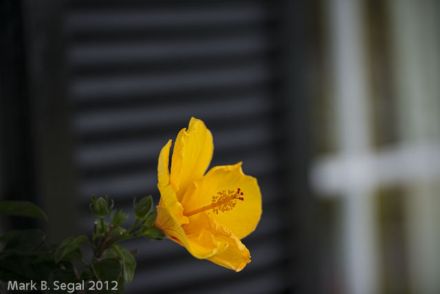 Hibiscus, Yellow