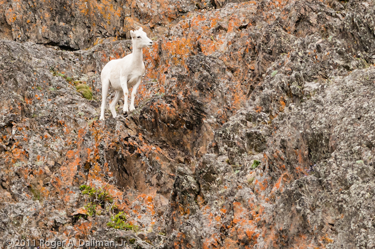 Mountain goat, near Anchorage, Alaska