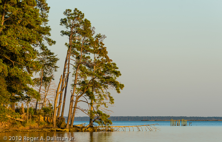 Pines at sunset, along the James River, Va