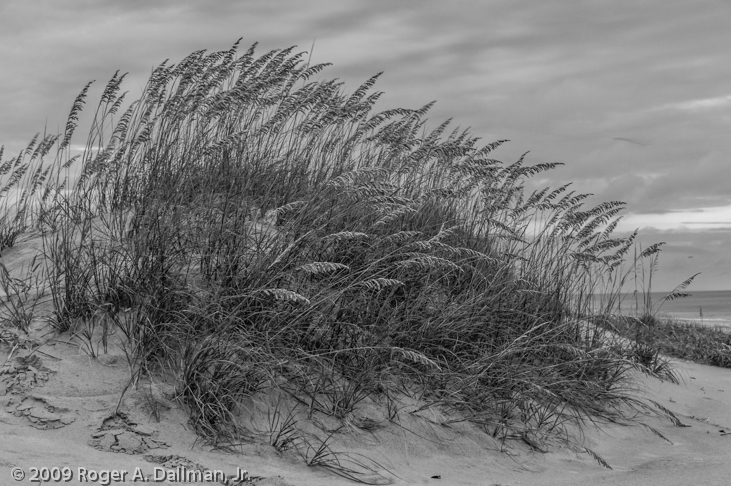 Black & white photograph of sea oats, Virginia Beach, VA
