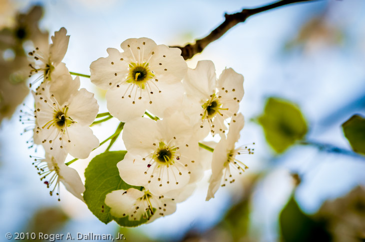 pear blossom photo, macro, spring