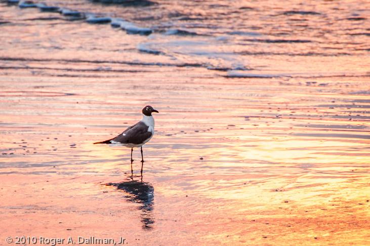 Seagull at sunrise, at Cocoa Beach, Florida