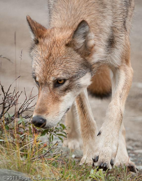 close up of an Arctic wolf in Denali National Park, Alaska