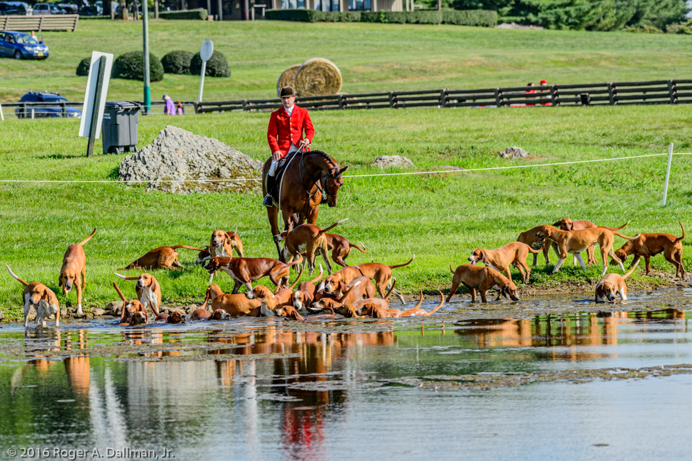 Middleburg Hunt hounds taking a dip