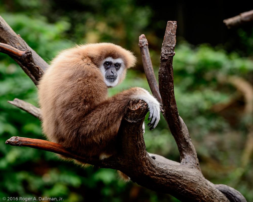 Gibbon, Omaha Zoo