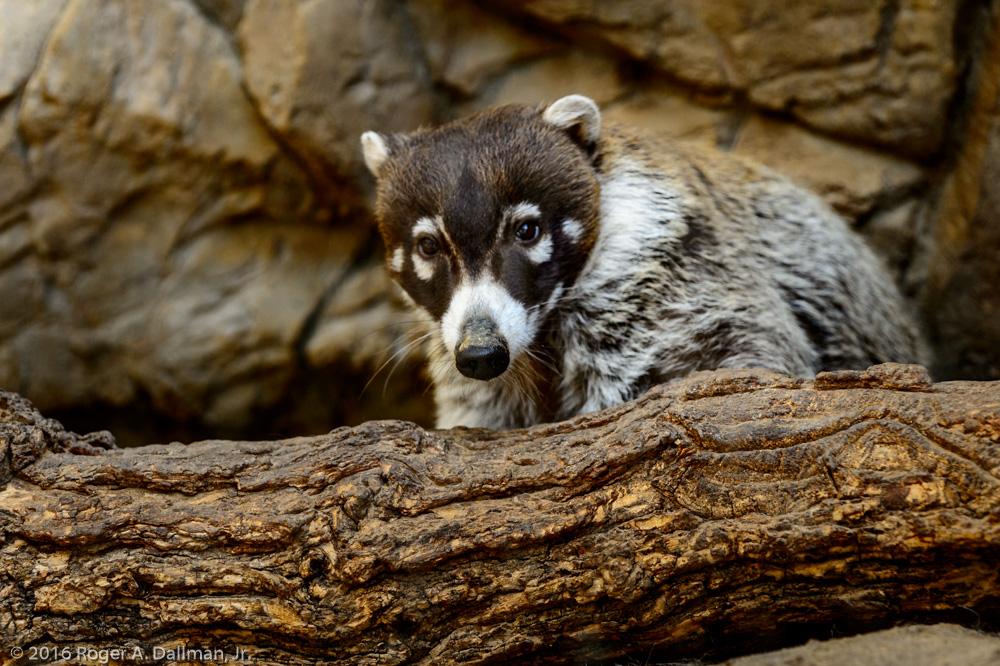 Coati, Omaha Zoo