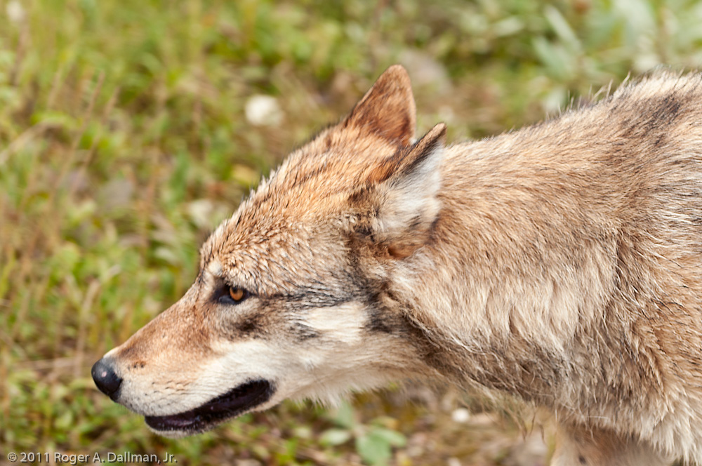 Denali Wolf close-up