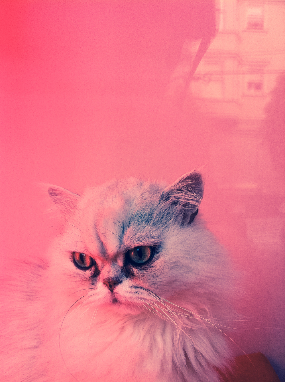 kitty in pink.
