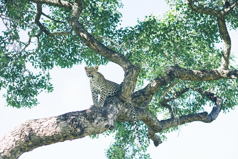 Leoplard in tree