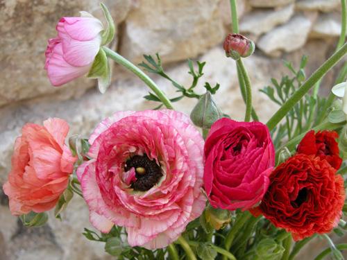 It S Ranunculus Season Sprout