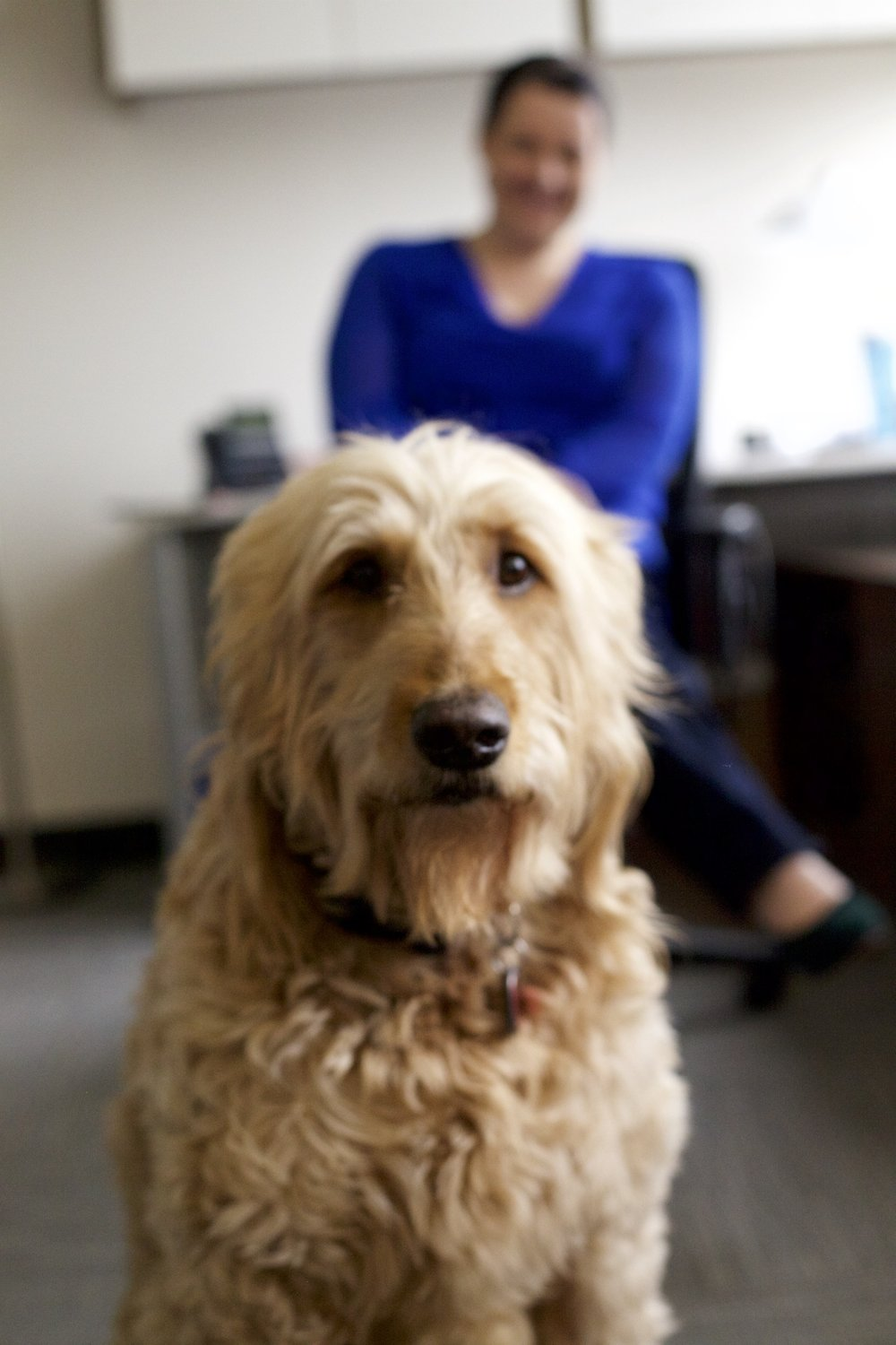 Meet Gus! Gus loves coming to work with me and I bring him every chance I get. He's a mellow and very lovable Golden Doodle.