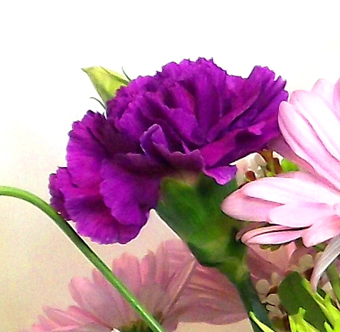Purple Carnation