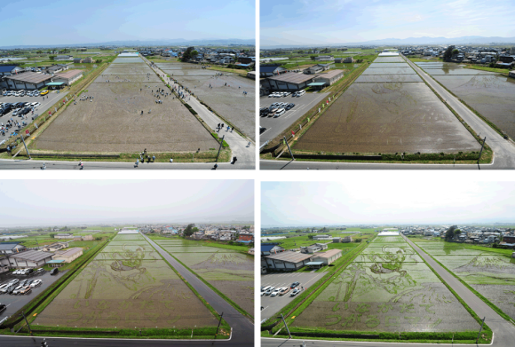 Time lapse photos of Rice Paddy with art growing through