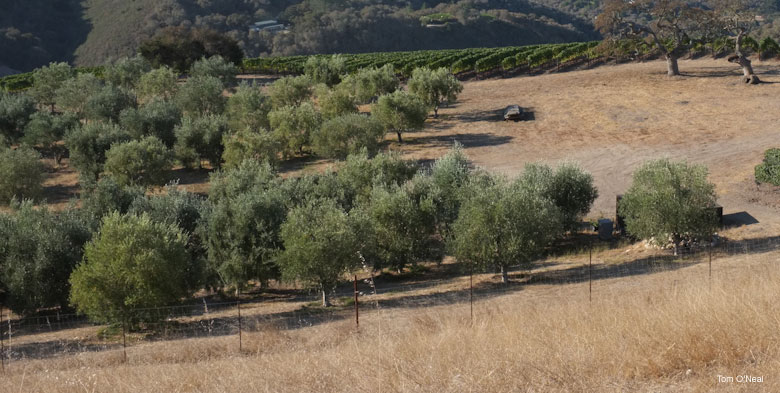 Olive Tree Grove - p. Tom O'Neal