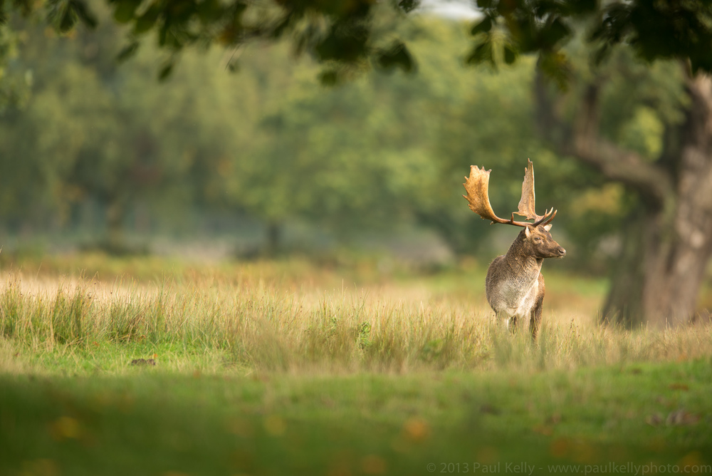 Evening Fallow Buck.jpg