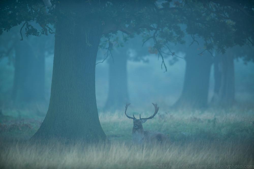 Misty Fallow Deer Stag.jpg