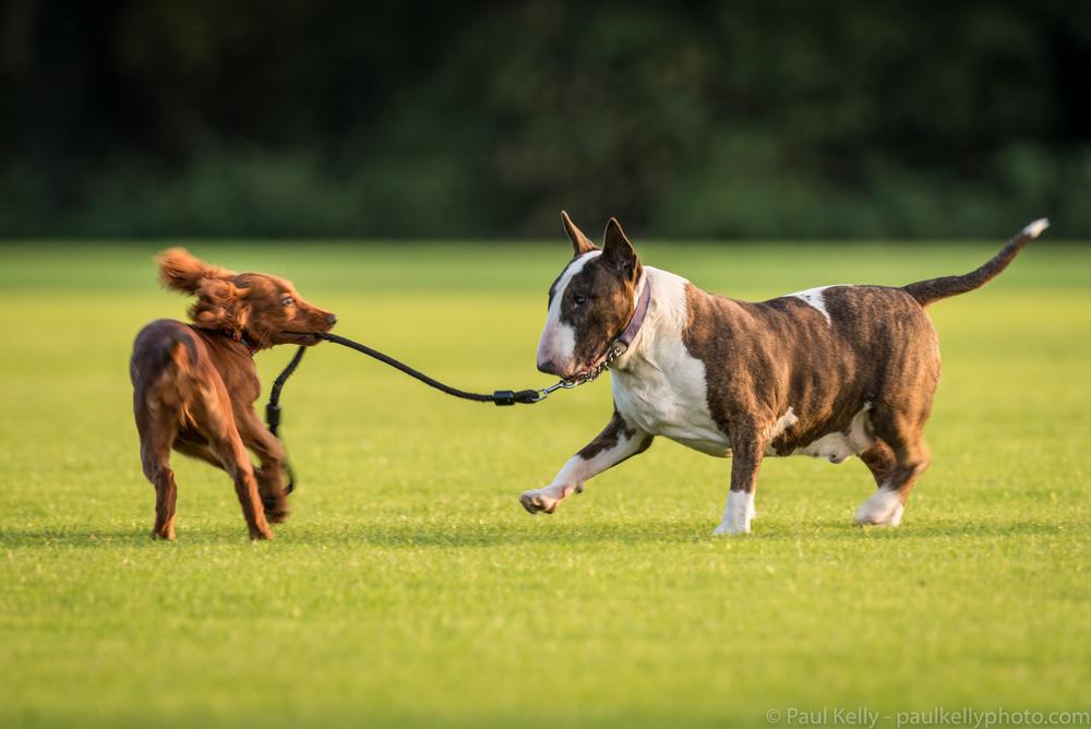 Irish Setter English Bull Terrier.jpg