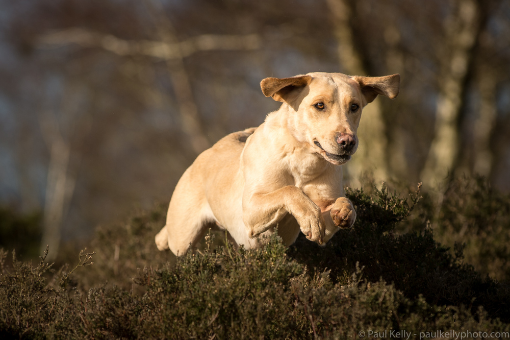 Labrador Jumping Gun Dog.jpg