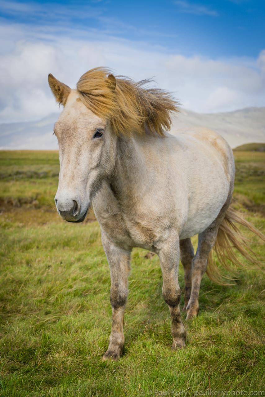 White Icelandic Horse 2.jpg